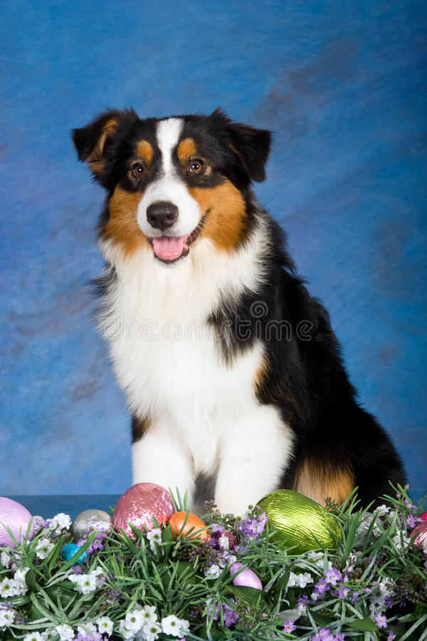 Australian Shepherd dog with easter eggs. Beautiful Australian Shepherd dog with easter eggs and flowers on blue mottled background royalty free stock photos