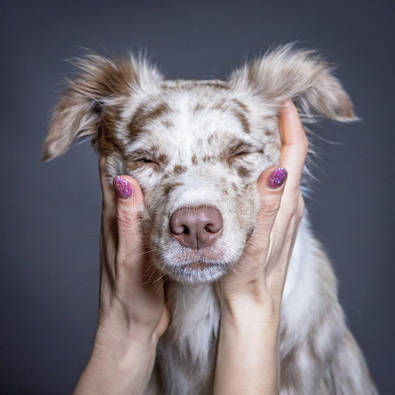 The australian shepherd dog face in woman`s hands. royalty free stock photography