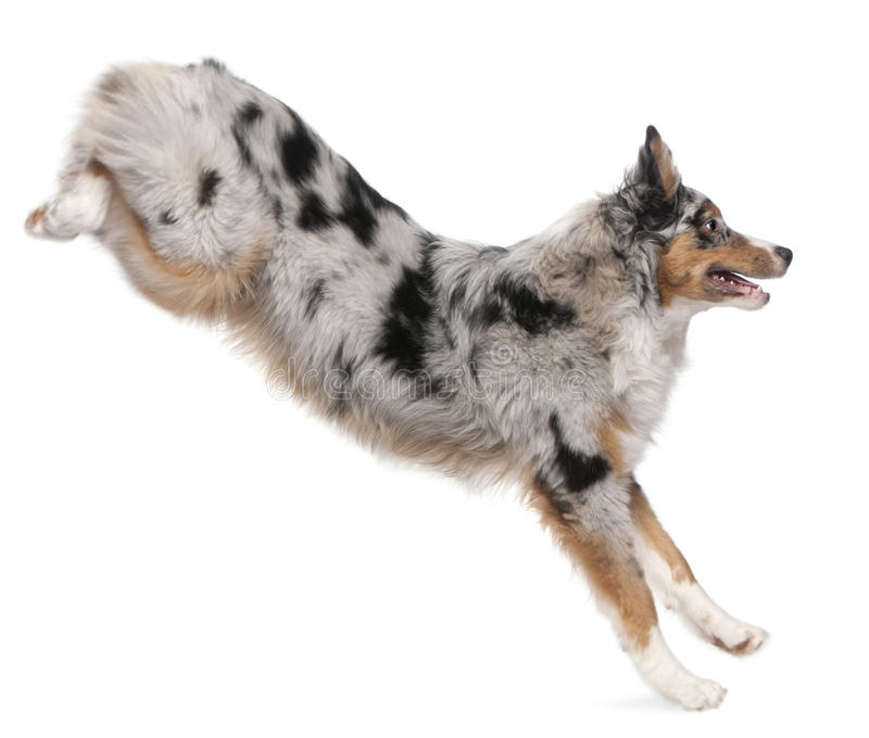Australian Shepherd dog jumping, 7 months old stock photography