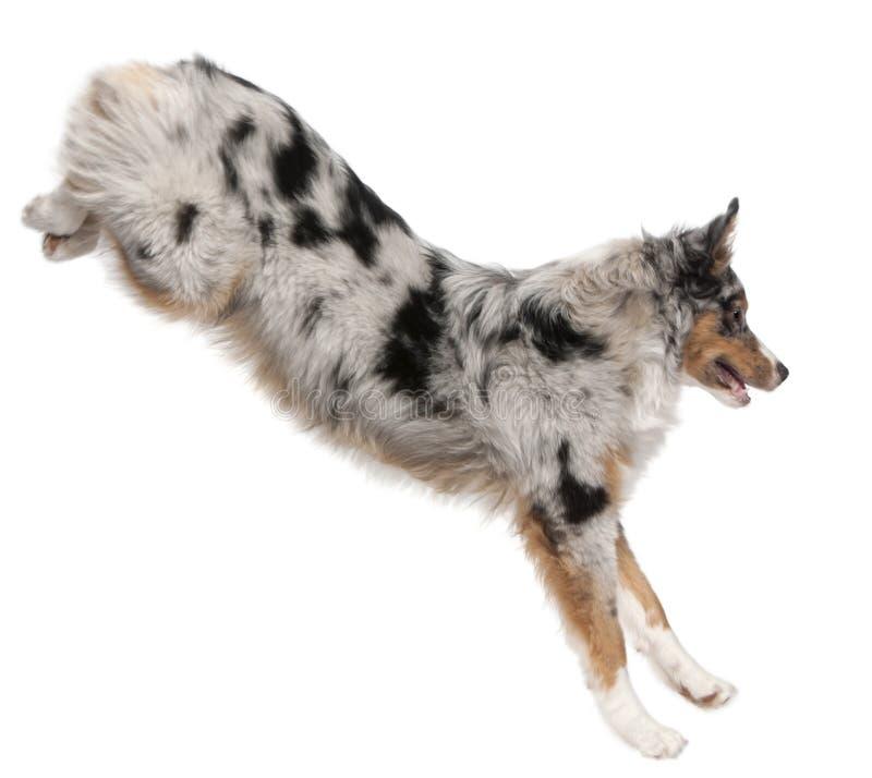 Australian Shepherd dog jumping, 7 months old stock photos