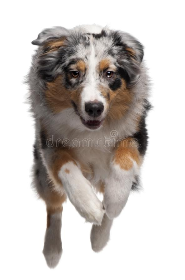 Australian Shepherd dog jumping, 7 months old. In front of white background stock photo