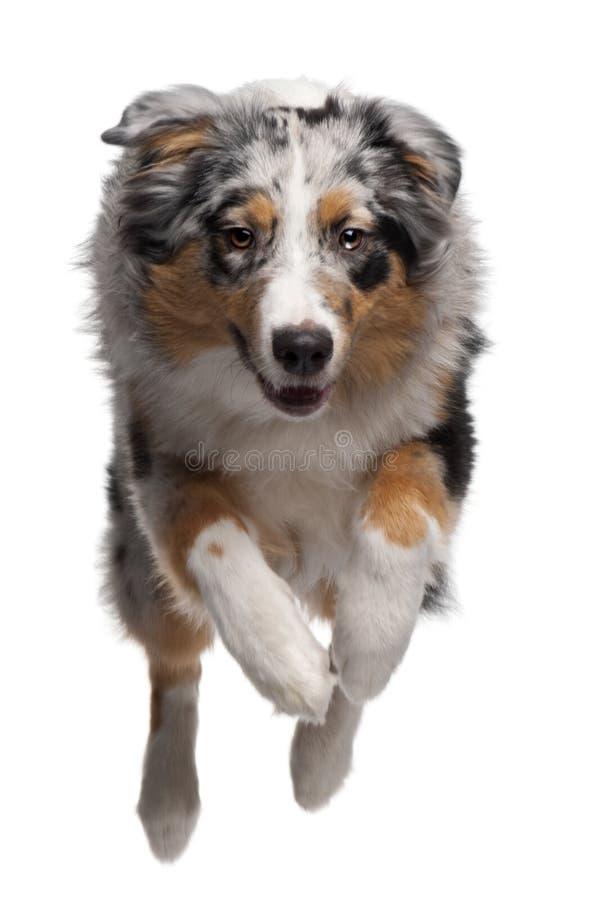Australian Shepherd dog jumping, 7 months old stock photo