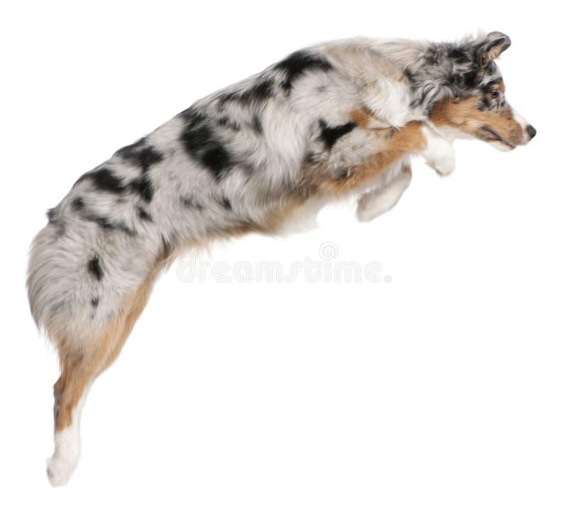 Australian Shepherd dog jumping, 7 months old royalty free stock photos