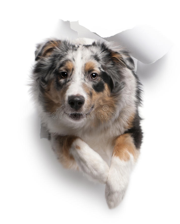 Download Australian Shepherd Dog Jumping Out Of White Paper Stock Image - Image: 17953349