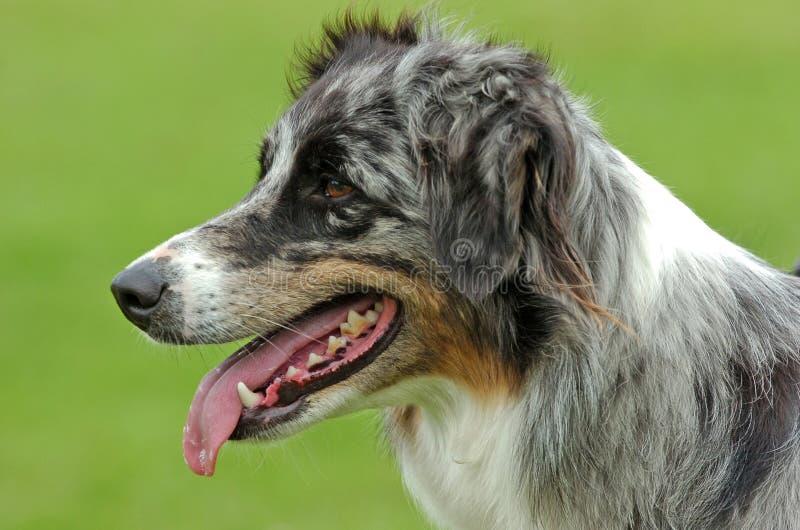 Australian Shepherd dog portrait stock photo