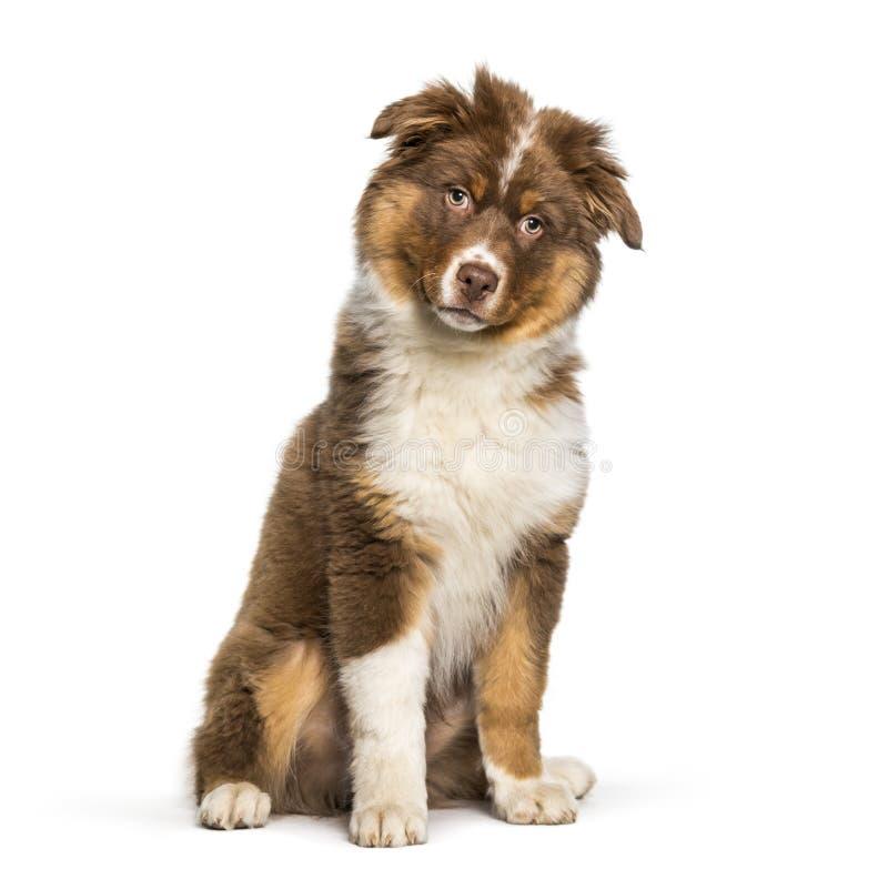 Australian Shepherd dog sitting against white background royalty free stock images