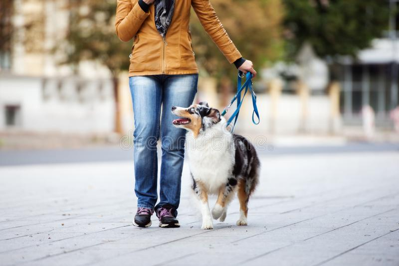 Australian shepherd dog walking on a leash with owner. Beautiful australian shepherd dog posing outdoors royalty free stock photos