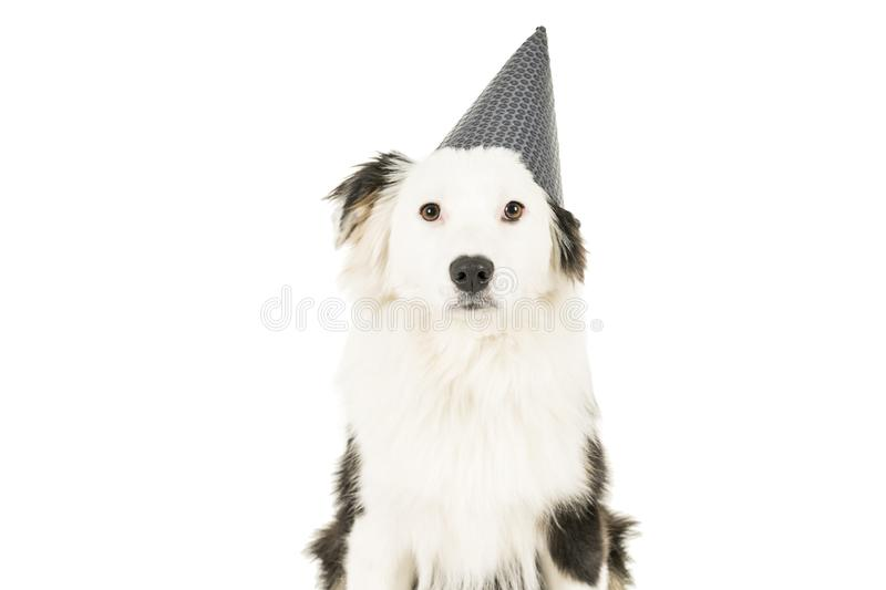 Australian Shepherd dog in white background with a birthday hat. Black and white Australian Shepherd dog sitting isolated in white background with a birthday hat stock photo