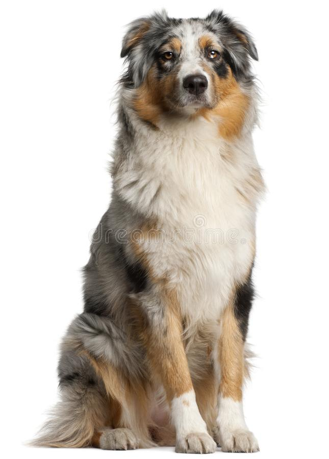 Australian Shepherd dog, 1 year old. Sitting in front of white background stock photography
