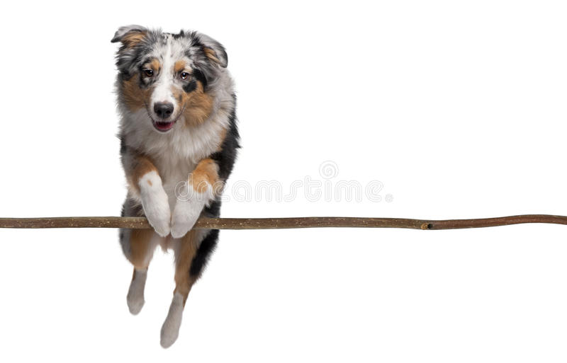 Australian shepherd jumping over branch royalty free stock image