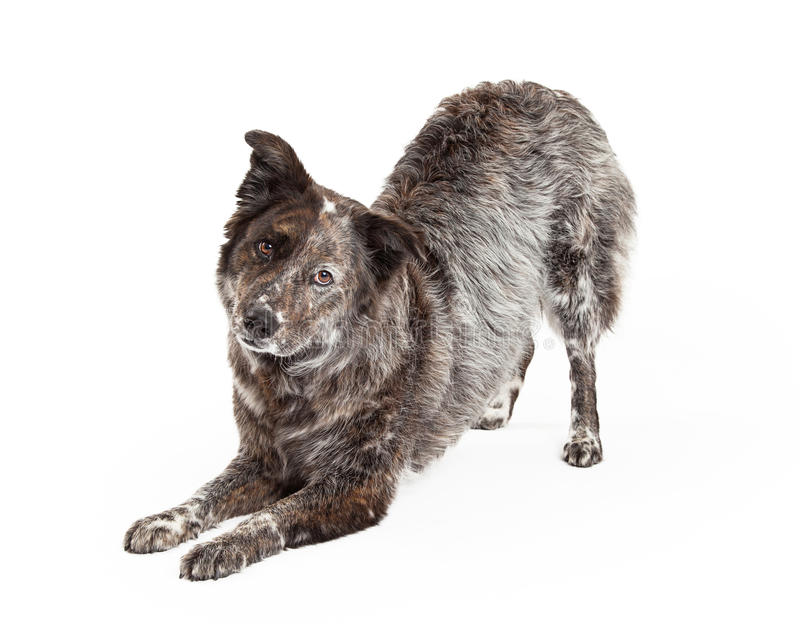 Australian Shepherd Mix Breed Dog Bowing. A talented Australian Shepherd Mix Breed Dog bows at an angle while looking into the camera royalty free stock images