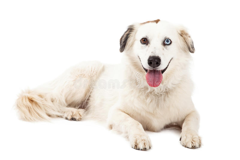 Australian Shepherd Mix Breed Dog Laying. A happy Australian Shepherd Mix Breed Dog laying while looking forward. Mouth is open royalty free stock image