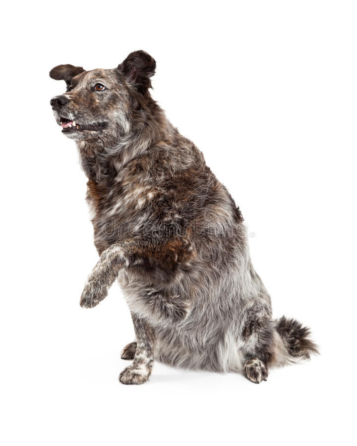Australian Shepherd Mix Breed Dog and Paw Shake. A happy Australian Shepherd Mix Breed Dog extends its paw for a shake stock images