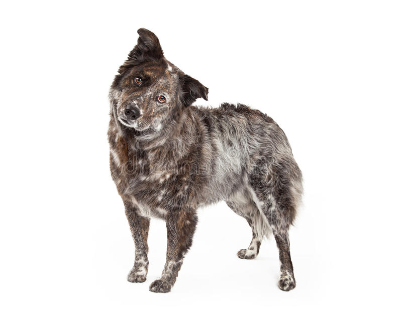 Australian Shepherd Mix Breed Dog Standing. An inquisitive Australian Shepherd Mix Breed Dog standing at an angle while looking into the camera royalty free stock photo