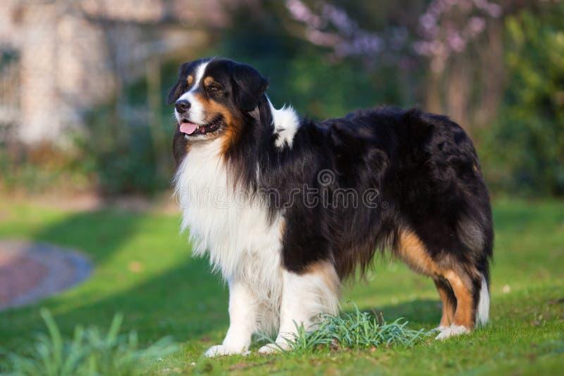 Australian Shepherd in profile royalty free stock photos