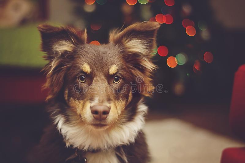 Australian Shepherd Pup with Christmas Lights. Red Tri Australian Shepherd therapy dog poses in front of Christmas tree stock photography