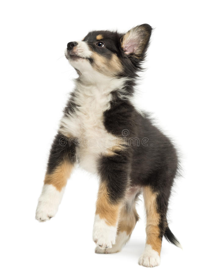 Australian Shepherd puppy, 2 months old, leaping. Against white background royalty free stock image