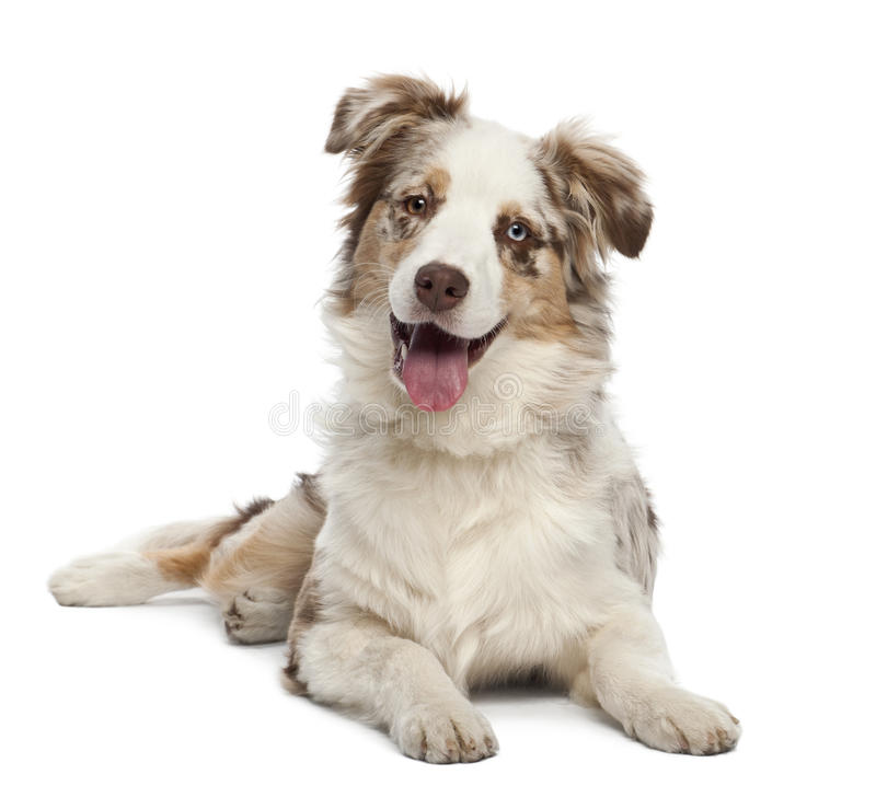 Australian Shepherd puppy, 6 months old. Portrait against white background stock images