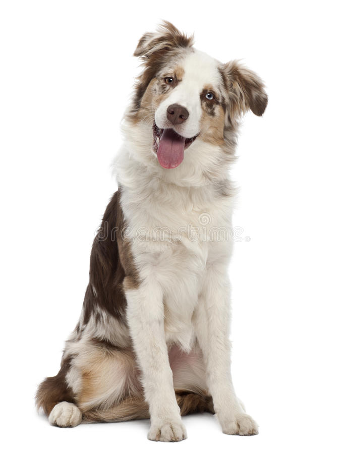 Australian Shepherd puppy, 6 months old, sitting. Against white background royalty free stock photo