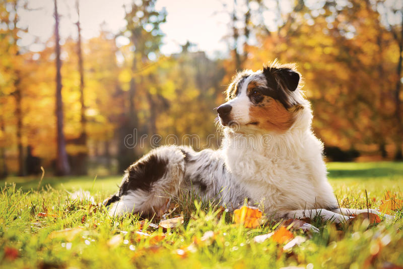 Australian Shepherd puppy in the autumn forest stock images