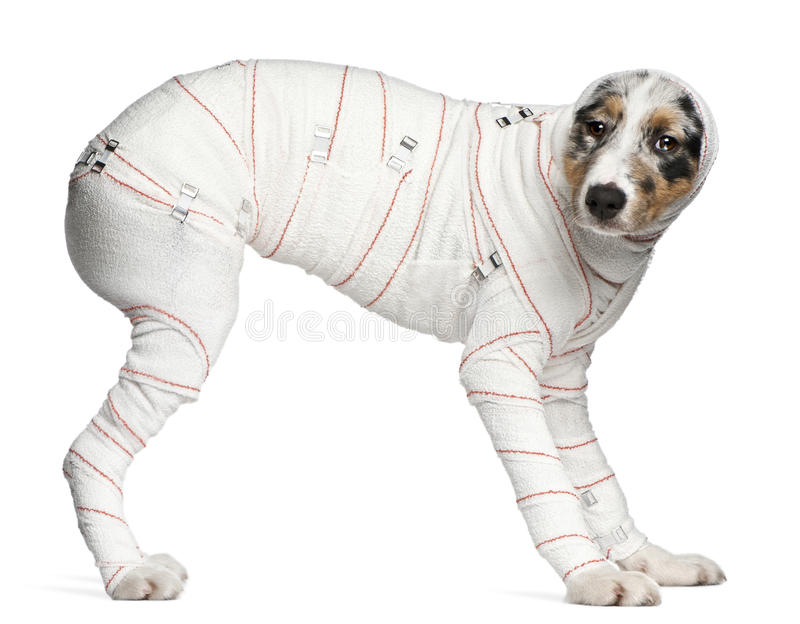 Australian Shepherd puppy in bandages. 5 months old, standing in front of white background stock photography