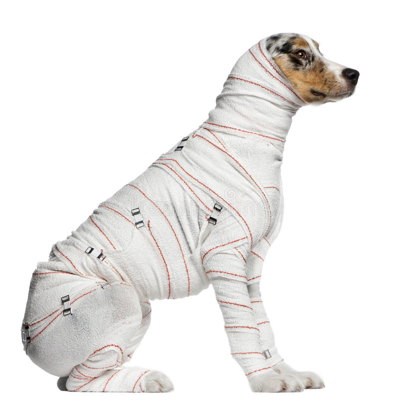 Australian Shepherd puppy in bandages. 5 months old, sitting in front of white background stock photos