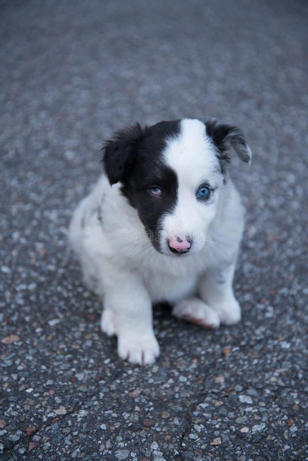 Australian shepherd puppy with blue eye stock photography