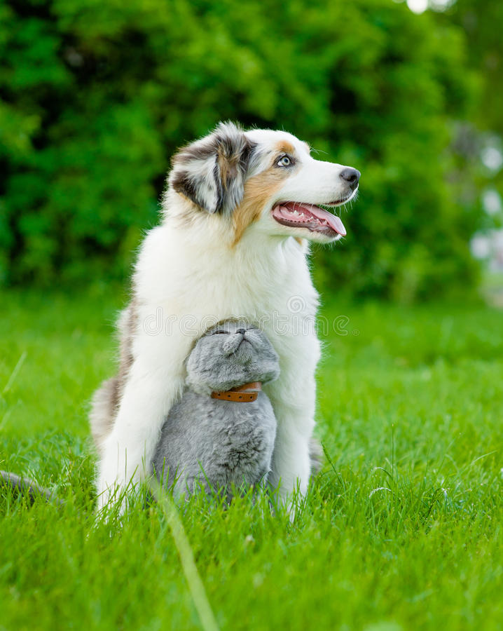 Australian shepherd puppy and cat sitting together on the green royalty free stock photography