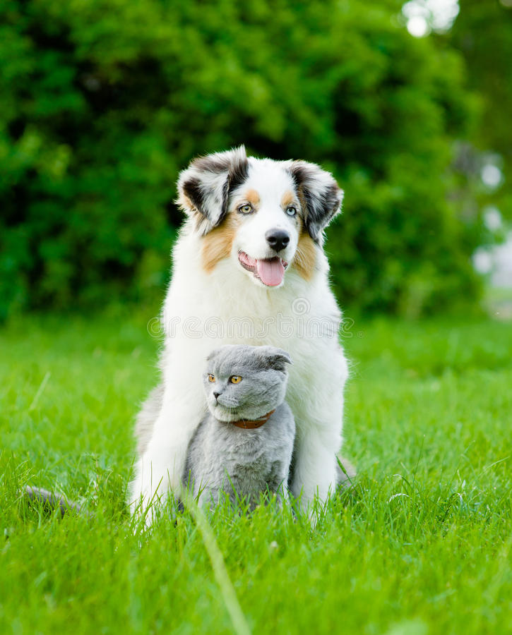 Australian shepherd puppy and cat sitting together on the green royalty free stock images
