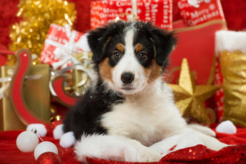 Australian shepherd puppy with christmas decoration. Looking at camera royalty free stock images