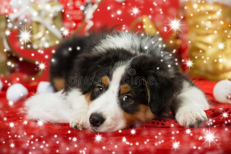 Australian shepherd puppy with christmas decoration. Looking at camera royalty free stock image