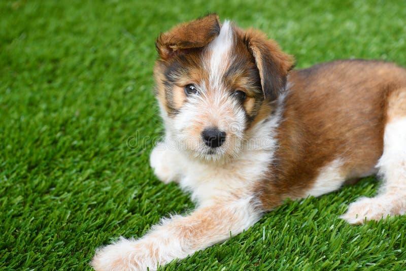 Australian Shepherd Puppy royalty free stock photos