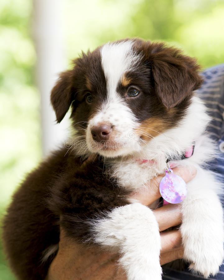Australian Shepherd Puppy. Having a dog to care for is a proven way to relieve stress and live a healthier lifestyle. Who wouldn't fall in love with this 8-week stock photography