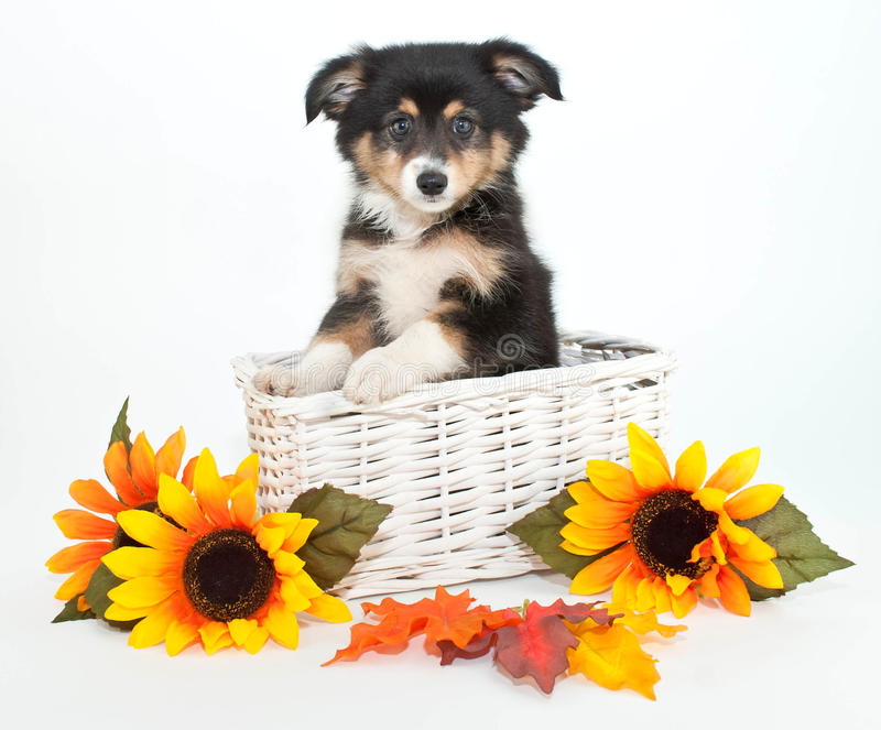 Australian Shepherd Puppy. Little Aussie puppy in a basket with yellow sunflowers around her, on a white background stock photography