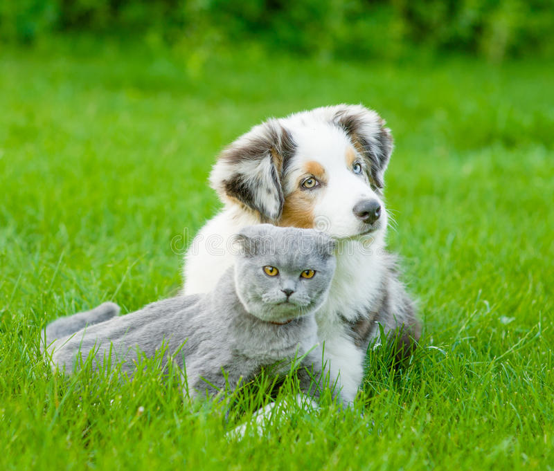 Australian shepherd puppy lying with a cat on the green grass stock images