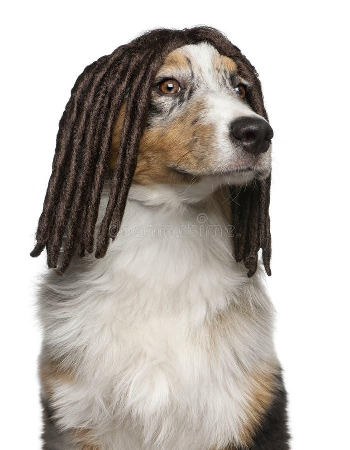 Australian Shepherd puppy wearing a dreadlock wig stock photos