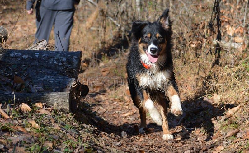 Australian Shepherd running on trail stock images