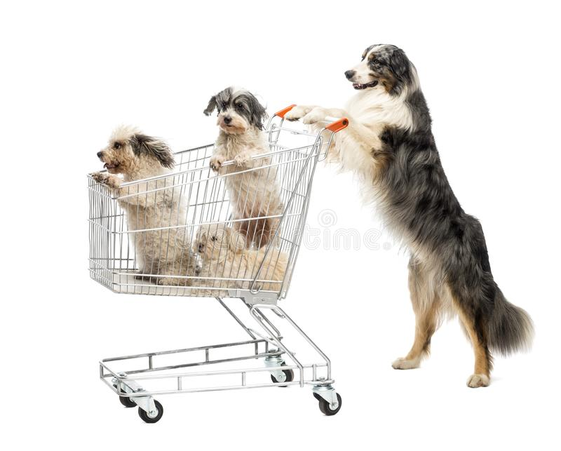 Australian Shepherd standing on hind legs and pushing a shopping cart with dogs against white background royalty free stock photos
