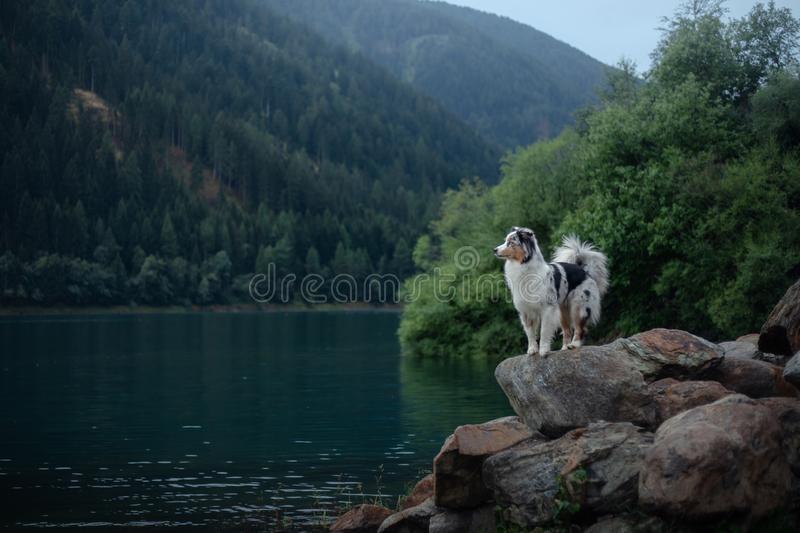 Australian Shepherd standing on a rock on a background of mountains. Dog travel Pet in nature. Outdoor royalty free stock images