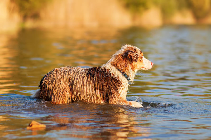 Australian Shepherd walking in a lake. Picture of an Australian Shepherd walking in a lake stock photo