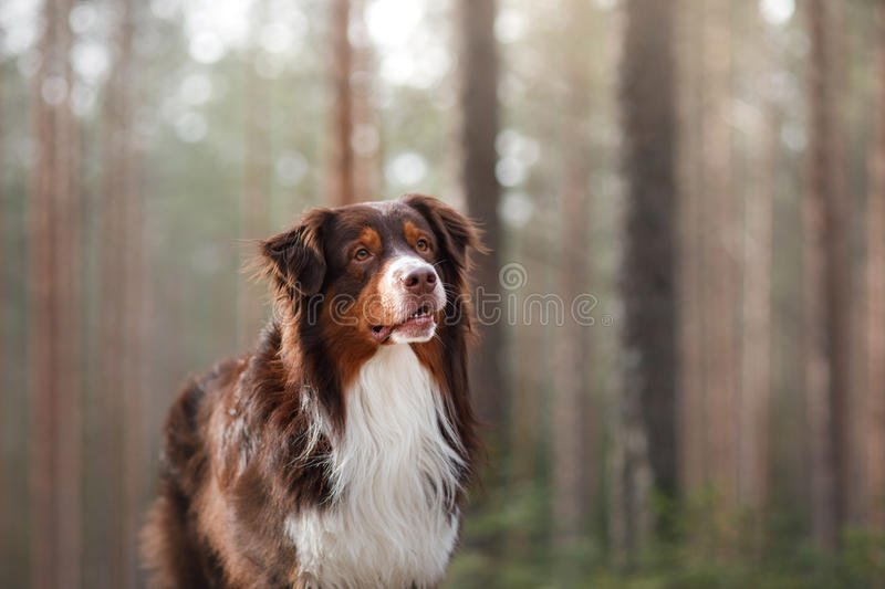 Australian shepherd walking in the woods. The Australian shepherd is walking in the forest in Sunny weather stock image
