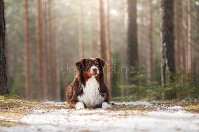 Australian shepherd walking in the woods. The Australian shepherd is walking in the forest in Sunny weather royalty free stock photo