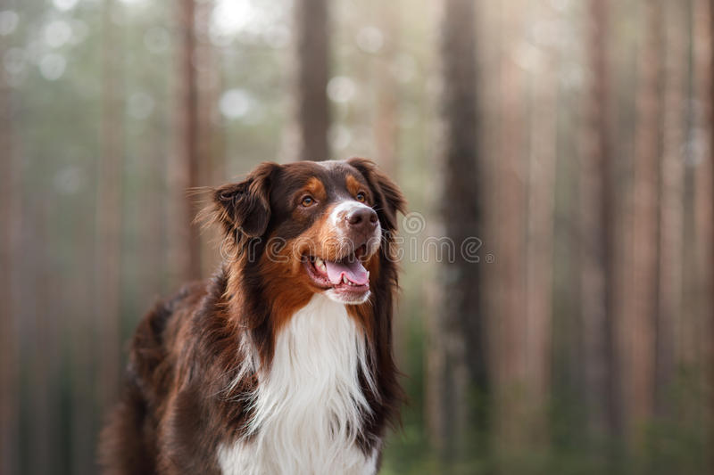 Australian shepherd walking in the woods. The Australian shepherd is walking in the forest in Sunny weather stock photos