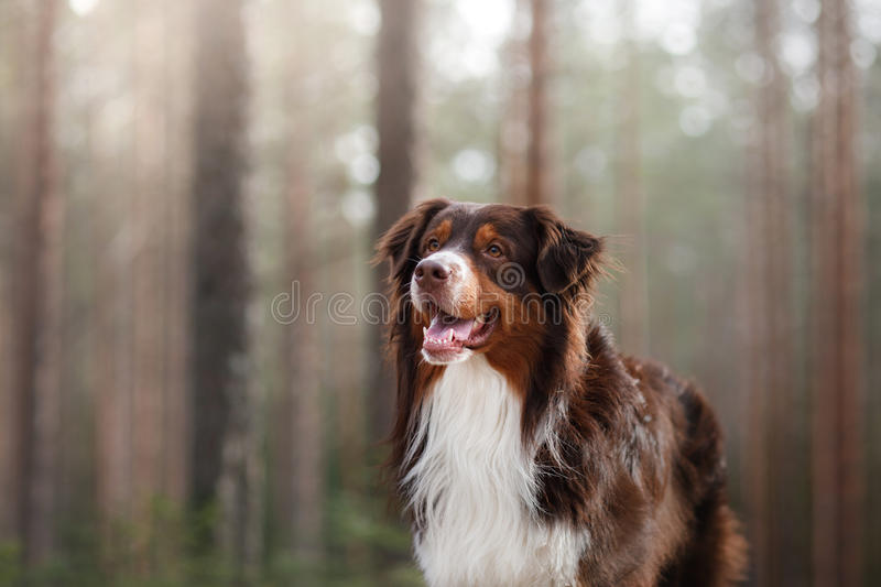 Australian shepherd walking in the woods. The Australian shepherd is walking in the forest in Sunny weather stock photo