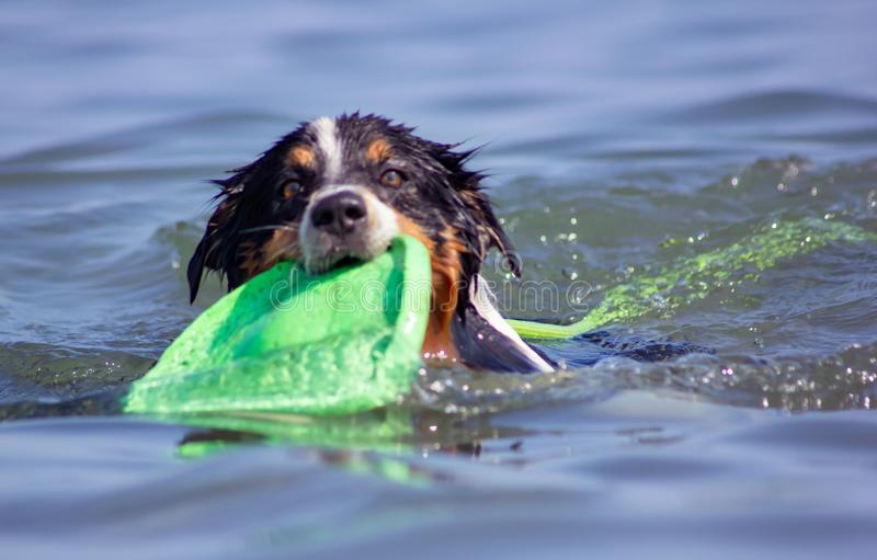 The Australian shepherd who, even if it is so called, does not come from Australia but from the United States of America. It is pa royalty free stock images