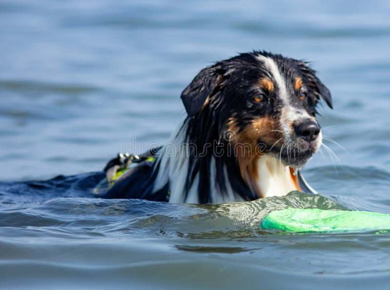 The Australian shepherd who, even if it is so called, does not come from Australia but from the United States of America. It is pa. Rticularly fond of children stock photos