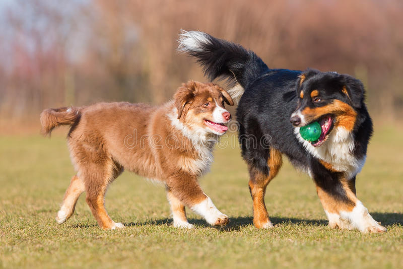Australian Shepherds playing with a ball royalty free stock photos