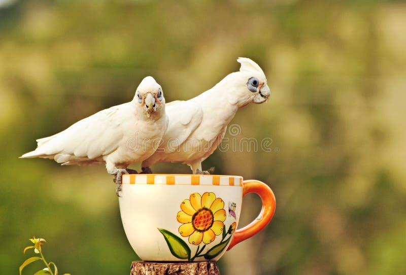 Australian colorful native birds White Corella Cockatoos stock photography