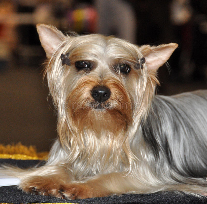 Download Australian Silky Terrier Dog Stock Image - Image of white, silky: 39513193