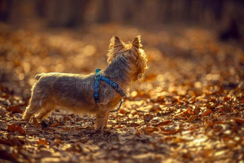 Australian Silky Terrier stock photos